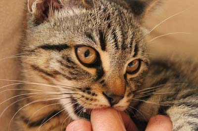 Gray tabby cat nibbling on the knuckle of a human's finger.