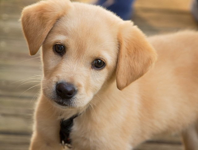 Golden Retriever puppy with a black collar gazing ahead.